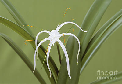 Hymenocallis Photograph - Spider Lily Hymenocallis Harrisiana by Archie Young