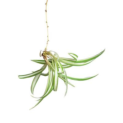 Spider Plant Art Print by Science Photo Library