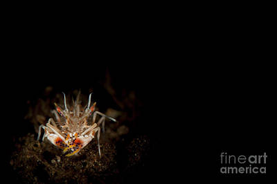 Spiny Tiger Shrimp Amongst Volcanic Art Print by Steve Jones