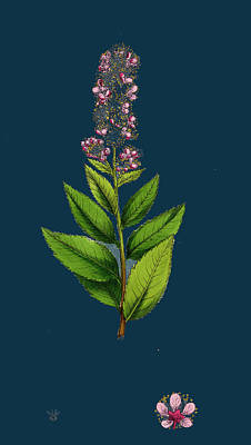 Spiraea Salicifolia Willow-leaved Spiraea Art Print by English School