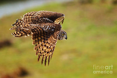 Animals Royalty-Free and Rights-Managed Images - Spotted Eagle Owl in flight by Nick  Biemans