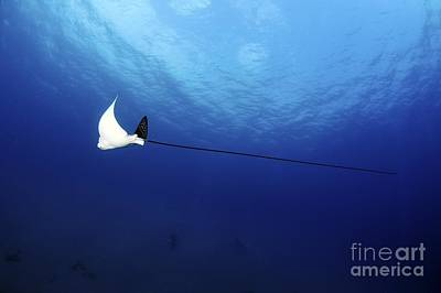 Spotted Eagle Ray Art Print by PhotoStock-Israel