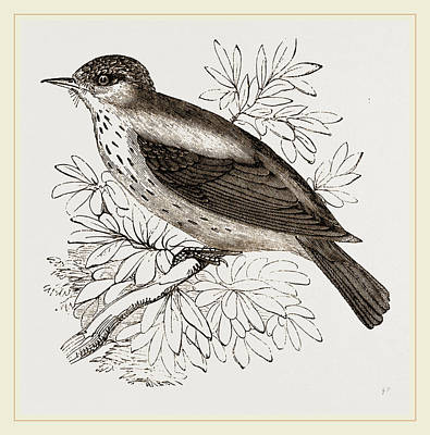 Flycatcher Drawing - Spotted Flycatcher by Litz Collection