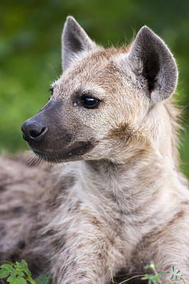 Spotted Hyena Art Print by Sean McSweeney