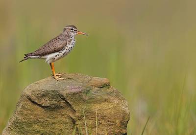 Photograph - Spotted Sandpiper by Daniel Behm
