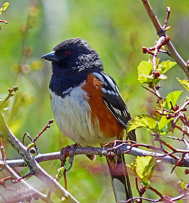 Photograph - Spotted Towhee by Thomas Samida