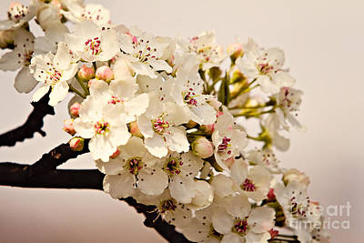 Photograph - Spring Blossoms by Lana Trussell