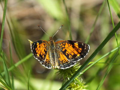 Photograph - Spring Butterfly by Gene Cyr