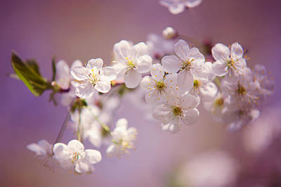 Photograph - Spring Cherry Tree Branch by Jenny Rainbow