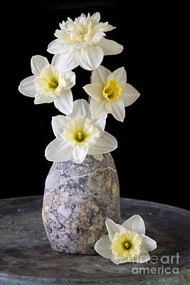 Narcissus Photograph - Spring Daffodils by Edward Fielding