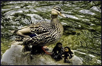 Hen Photograph - Spring Ducks On The Clinton River by LeeAnn McLaneGoetz McLaneGoetzStudioLLCcom