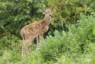 Photograph - Spring Fawn by Jeannette Hunt