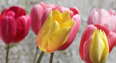 Photograph - Spring Tulip Flowers by Jennie Marie Schell