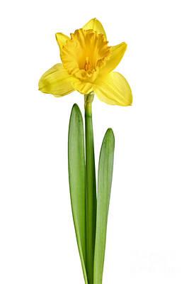 Daffodils Photograph - Spring Yellow Daffodil by Elena Elisseeva