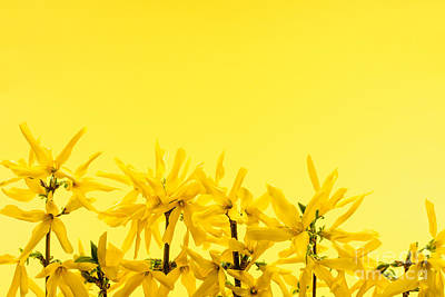 Forsythia Photograph - Spring Yellow Forsythia  by Elena Elisseeva