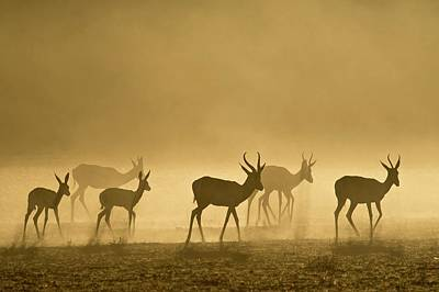 Springbok Herd At Dawn Print by Tony Camacho