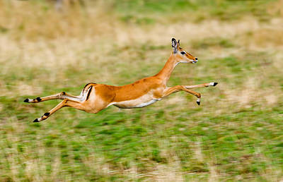 Springbok Leaping In A Field Art Print by Panoramic Images