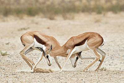 Springbok Males In Territorial Combat Art Print by Tony Camacho