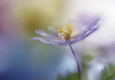 Anemone Photograph - Springtime Watercolor by Heidi Westum