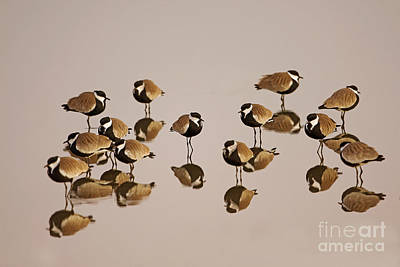 Lapwing Wall Art - Photograph - Spur-winged Lapwing Vanellus Spinosus by Eyal Bartov