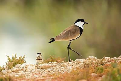 Lapwing Photograph - Spur-winged Lapwing Vanellus Spinosus by Photostock-israel