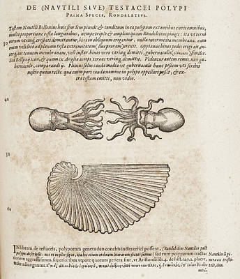 Squids Photograph - Squid by British Library