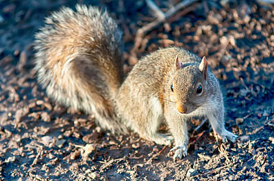 Photograph - Squirrel Posing For Camera by Alex Grichenko