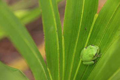 Frog Photograph - Squirrel Tree Frog In Palmetto by Rob Sheppard