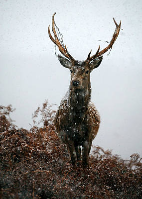 Photograph - Stag In A Snowstorm by Gavin macrae