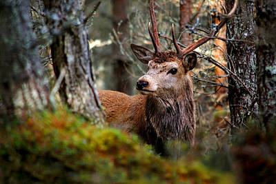 Photograph - Stag In The Woods by Gavin Macrae