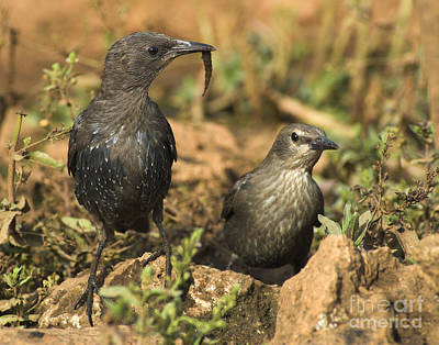 Starlings Photograph - Starling Estornino by Guido Montanes Castillo