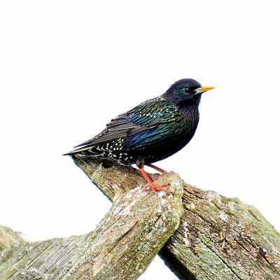 Starling Original by Tommytechno Sweden
