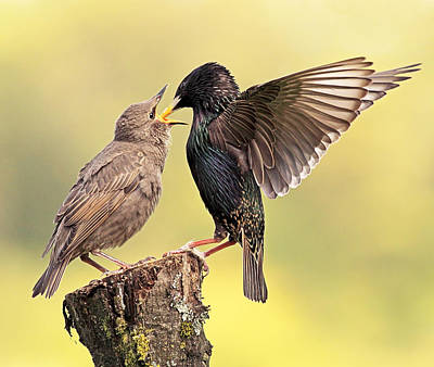 Starlings Photograph - Starlings by Grant Glendinning