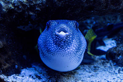 Photograph - Stars And Stripes Puffer Fish Arothron by Mark Newman