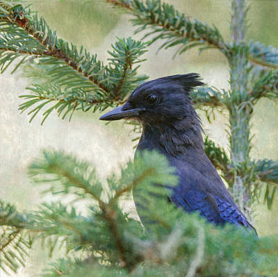 Photograph - Steller's Jay by Angie Vogel