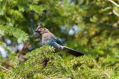 Photograph - Stellers Jay In Endovalley by Fred Stearns