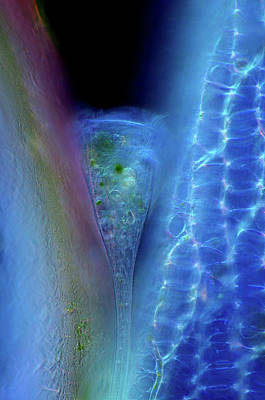 Microscopic Photograph - Stentor Protozoan And Sphagnum Moss by Marek Mis