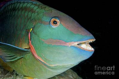 Parrot Fish Photograph - Stoplight Parrotfish by Clay Coleman