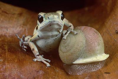 Photograph - Strawberry Poison Dart Frog Resting by Mark Moffett