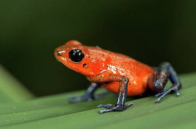 Dart Frogs Photograph - Strawberry Poison Frog by Nicolas Reusens
