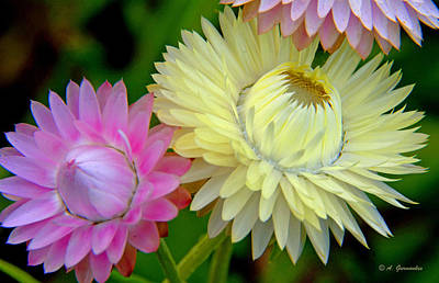 Strawflower Blossoms Art Print