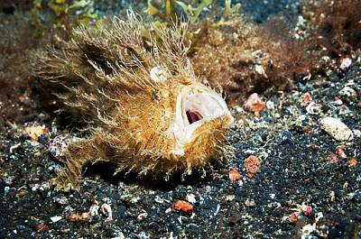 Ambush Photograph - Striated Frogfish On The Seabed by Georgette Douwma