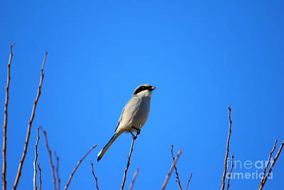 Photograph - The Lookout Shrike Or Butcher Bird Art by Reid Callaway