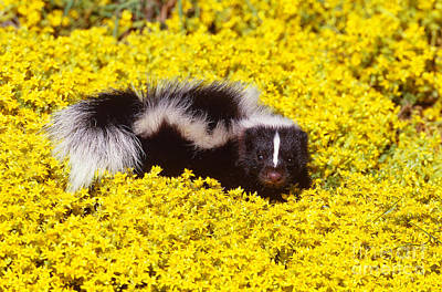 Photograph - Striped Skunk Baby by Jeff Lepore