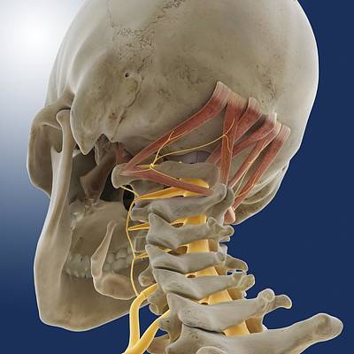 Suboccipital Muscles And Nerve, Artwork Art Print by Science Photo Library