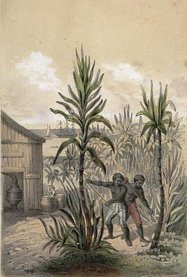 Plantation Drawing - Sugar Can Farming, Sugarcane Plantation, Poaceae, Seed by English School