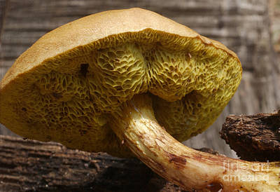 Photograph - Suillus Sp. Mushroom by Susan Leavines