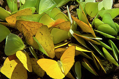 Sulfur Butterflies On Mineral Lick Art Print by Pete Oxford