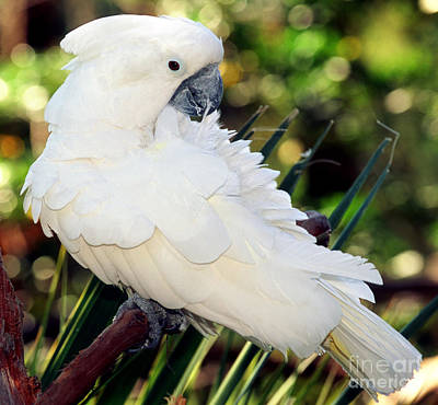 Cockatoo Photograph - Sulfur-crested Cockatoo by Millard H. Sharp