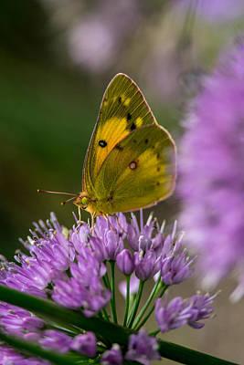 Pl Photograph - Sulphur Butterfly 4 by Douglas Barnett